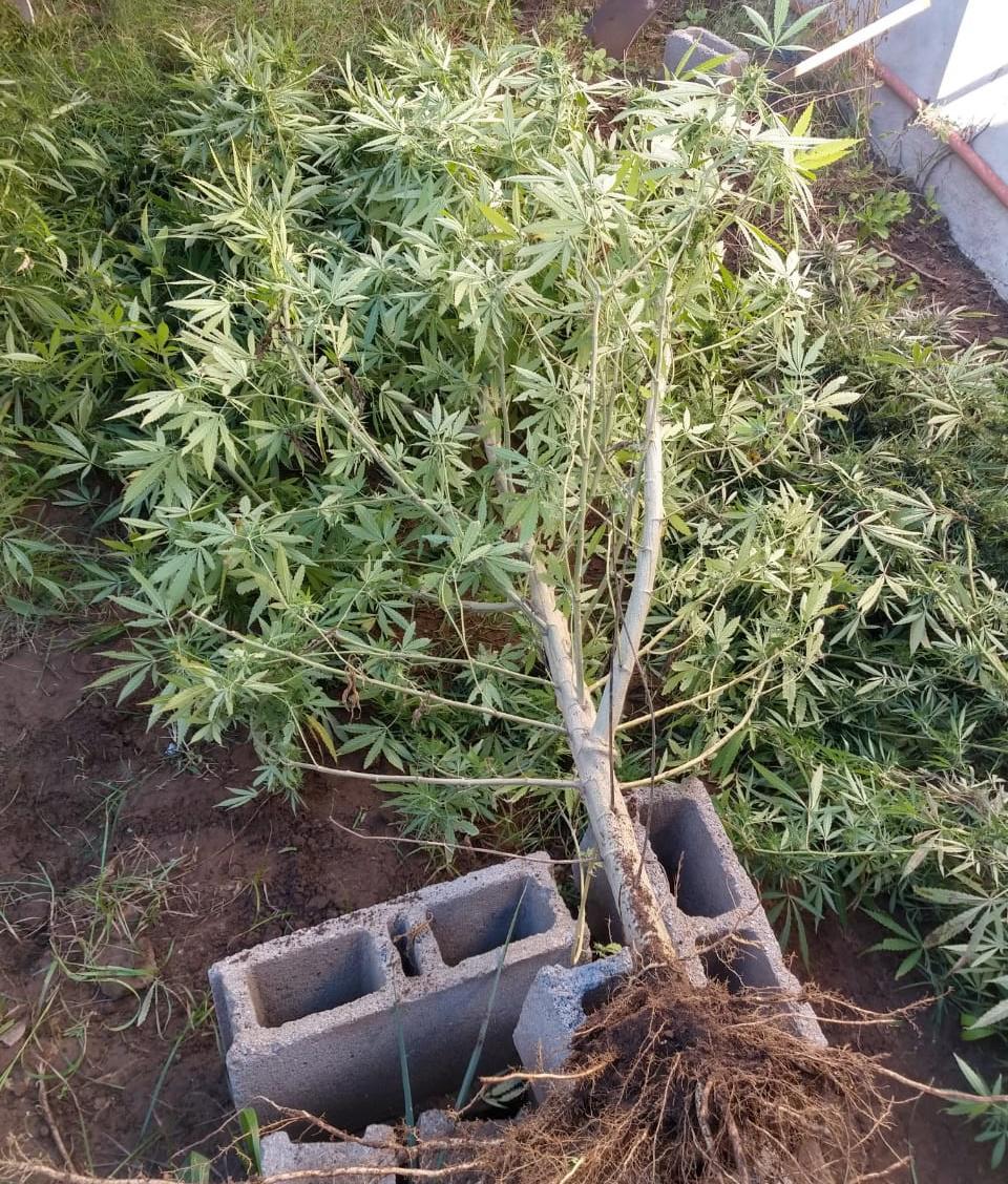 drogas marihuana 3